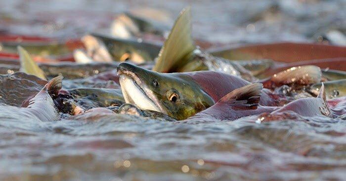 Znalezione obrazy dla zapytania ryby na tarlisku