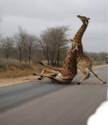 Image result for baby giraffe falling over | Funny animals ...