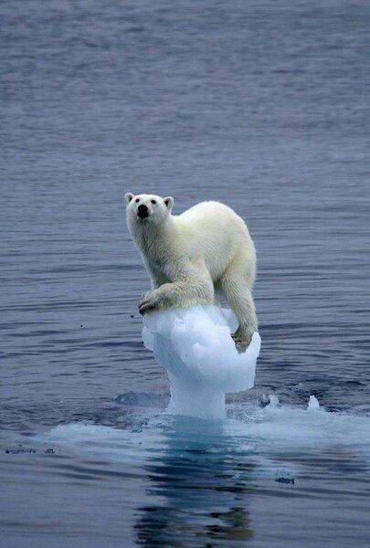 Image result for polar bear on small iceberg