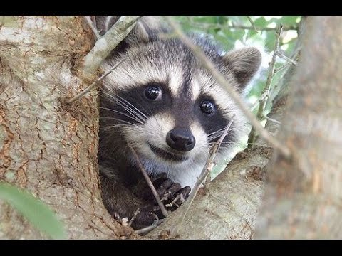 Funny And Cute Raccoon Videos Compilation 2014 [NEW] - YouTube