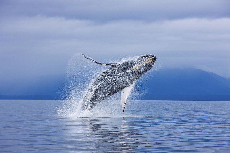 Image result for humpback whale breaching