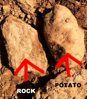 potato+or+rock.jpg